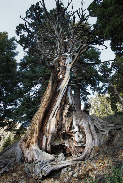 Juniper Tree (1/15 f/8.0 400ISO @15mm). Sequoia NP/2012
